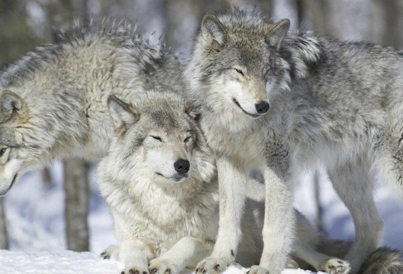 È partita la caccia ai lupi, gli animali che sanno fare pace