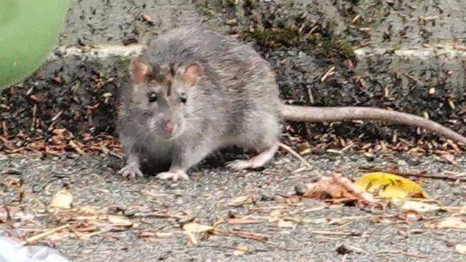 A Milano i topi non ci sono. E c'è la prova
